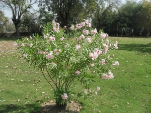 Oleander. Foto von Rajenver, CC-BY-SA-3.0, http://creativecommons.org/licenses/by-sa/3.0, via Wikimedia Commons