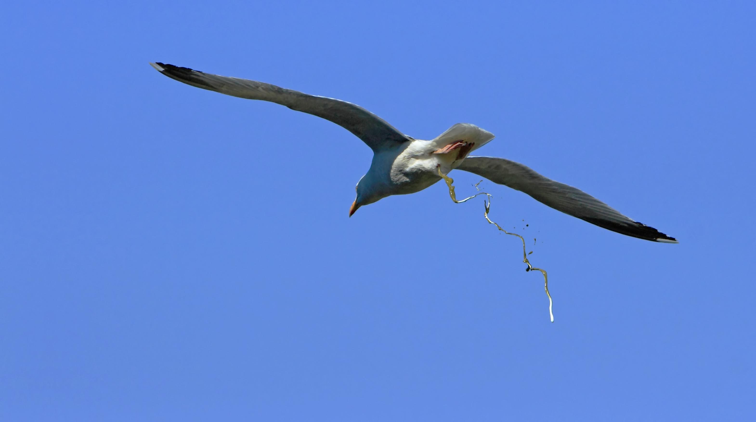 Eine Silbermöwe (Larus argentatus) kotet im Flug nahe Bréhat ab.